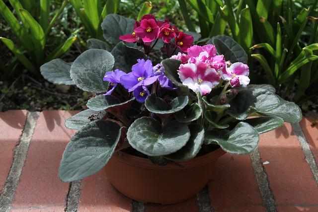 Dos plantas de interior con flores y un ejemplar ex tico - Plantas con flor de interior ...