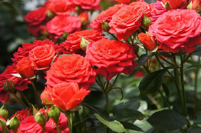 Todo sobre las rosas