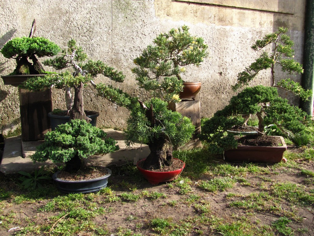 Fan ticos de los bonsai blogs for Bonsai de jardin