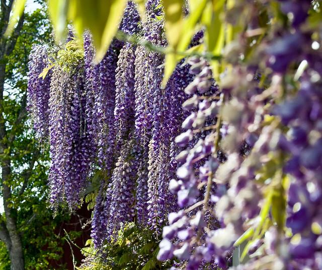 Se el jardinero de tu propio jardin plantas lindas pero for Glicina planta