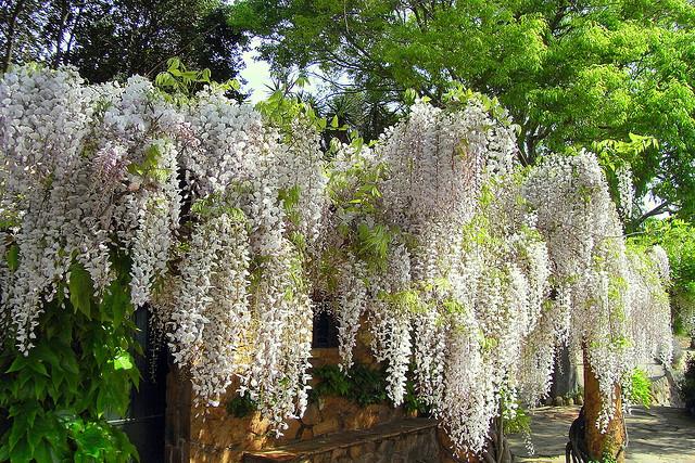 glicina la planta venenosa m s linda de todas blogs