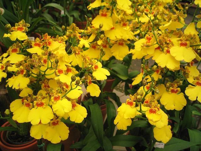 Una orquídea Oncidium amarilla, vía Tri Minh